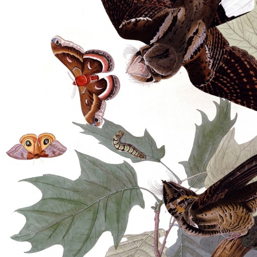 Detail of Plate 82 of The Birds of America by John Audubon, the Whip-poor-will.