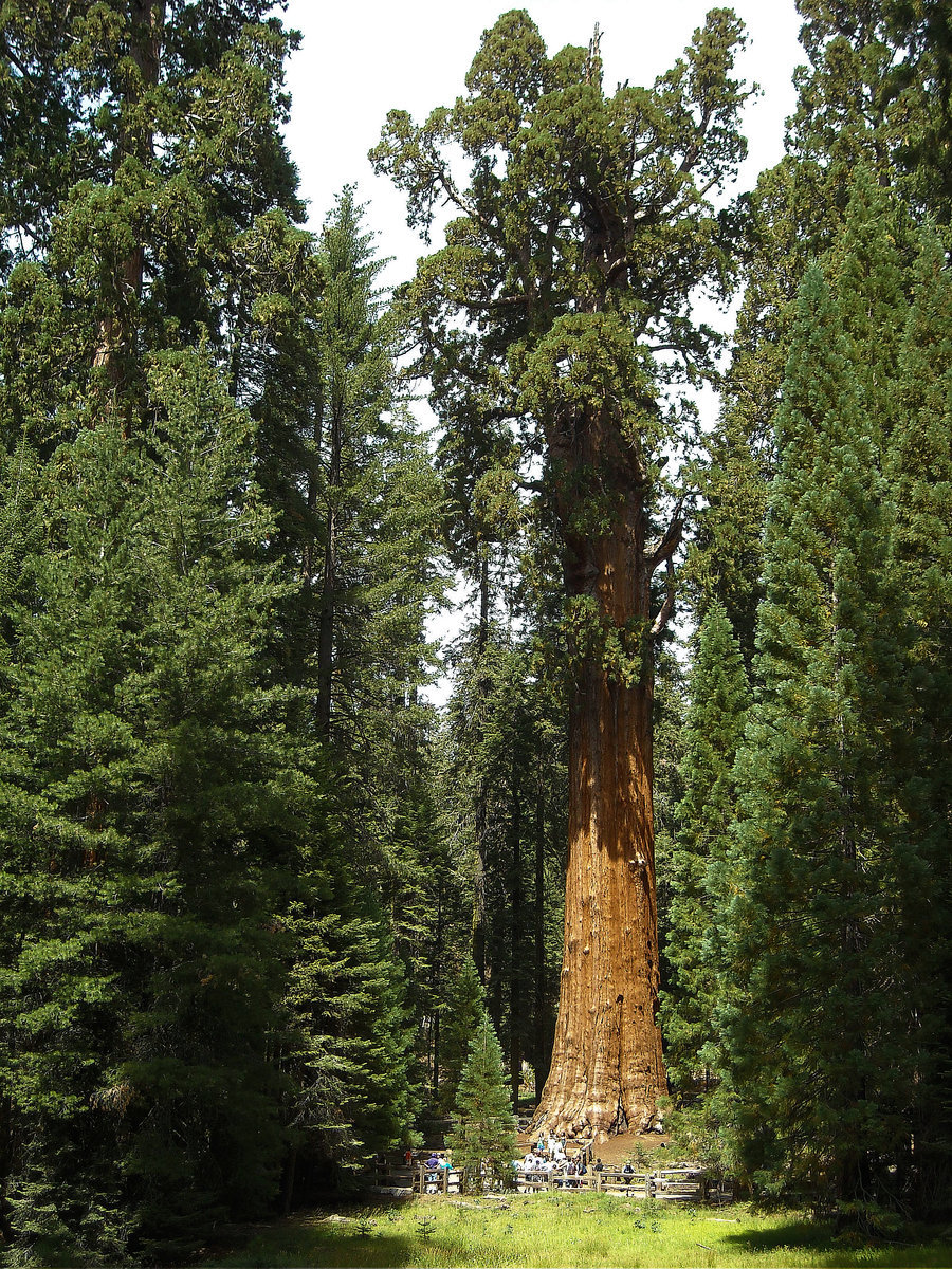 science-junkie:  Why trees can't grow taller than 100 metres TYPICALLY, the taller the tree, the smaller its leaves. The mathematical explanation for this phenomenon, it turns out, also sets a limit on how tall trees can grow. Kaare Jensen of Harvard University and Maciej Zwieniecki of the University of California, Davis, compared 1925 tree species, with leaves ranging from a few millimetres to over 1 metre long, and found that leaf size varied most in relatively short trees. Jensen thinks the explanation lies in the plant's circulatory system. Sugars produced in leaves diffuse through a network of tube-shaped cells called the phloem. Sugars accelerate as they move, so the bigger the leaves the faster they reach the rest of the plant. But the phloem in stems, branches and the trunk acts as a bottleneck. There comes a point when it becomes a waste of energy for leaves to grow any bigger. Tall trees hit this limit when their leaves are still small, because sugars have to move through so much trunk to get to the roots, creating a bigger bottleneck. Jensen's equations describing the relationship show that as trees get taller, unusually large or small leaves both cease to be viable (Physical Review Letters, doi.org/j6n). The range of leaf sizes narrows and at around 100 m tall, the upper limit matches the lower limit. Above that, it seems, trees can't build a viable leaf. Which could explain why California's tallest redwoods max out at 115.6 m. Source: New Scientist.Images: 1 - 2 - 3 - 4.