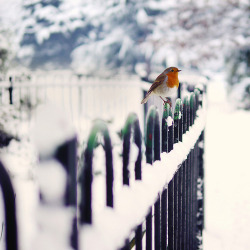 wistfullycountry:  fence and robin by kirstinmckee on Flickr.