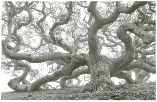 yama-bato:  Tom Zetterstrom Coast Oak, 1991 California via