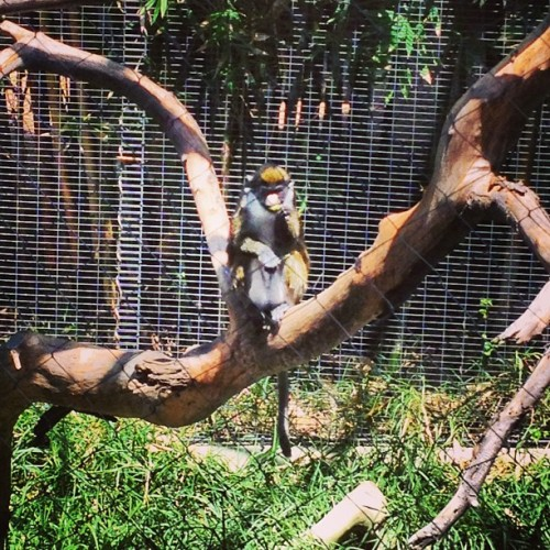 Monkeying around. (at San Diego Zoo)
