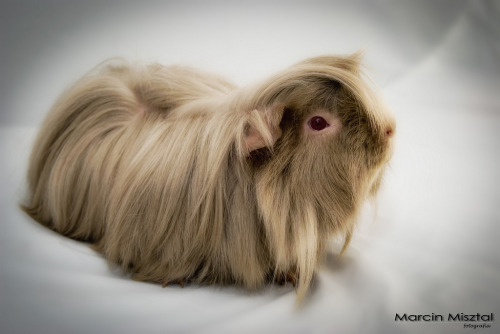 guinea pig :) (by Martin M Photography)