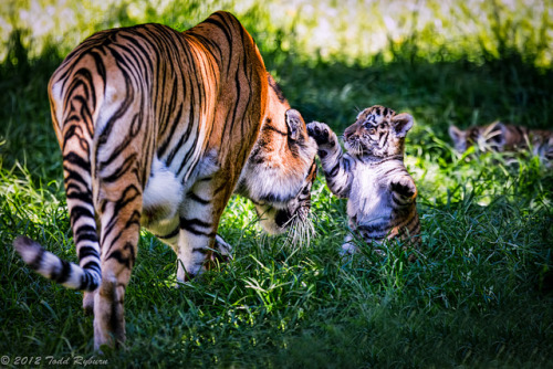 animalgazing:  Baby Tiger by Todd Ryburn on Flickr.