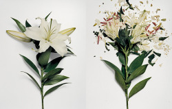 mfjr:  Flowers dipped in liquid nitrogen and then smashed.