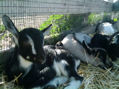 Today's weather and baby goats at Harley Farms reminded me that it's Spring (break) and that I am incredibly happy about being super lazy for a week. I'm planning to watch every single Winona Ryder movie ever made ever. I'm very happy.