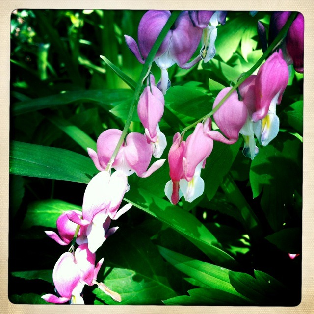 Bleeding Hearts #Spring #Flowers