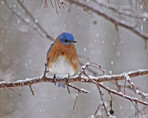 Bluebird in Snow-Blizzard. Photo by JacquiTnature