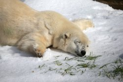 awwww-cute:  Pike, a 30 year old Polar Bear was gifted 10 tons of snow for his birthday in a California zoo