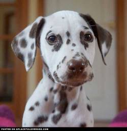 Gorgeous Dalmatian Bailey back when he was a puppy, he will be turning 1 this month! Via @tadlyth For more cute dogs and puppies