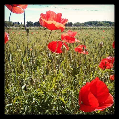 Poppies #novi #poppy #field #igersmodena #allitsfulloflove  (presso The Best Place To Be)