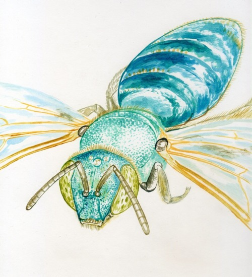 noelbadgespugh:  Agapostemon texanus, WIP, First Pass With Acrylics . . image for a bee book with Gretchen LeBuhn of the Great Sunflower Project