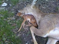 treehuggingarchitect:  delphiniume:  24pills:  baby fawn sleeping with its dead mother   cry  Animals aren't sentient…. Right  :'(