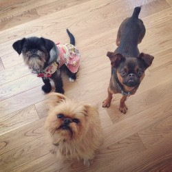 blainedanzig:  I had a playdate with Punky and Belvie today!