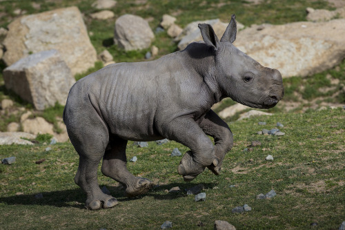 Southern White Rhino Calf Kayode (by Official San Diego Zoo)