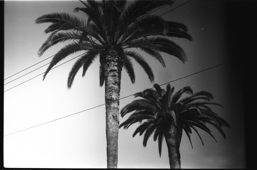 palms / 35mm los angeles / california / by kayven