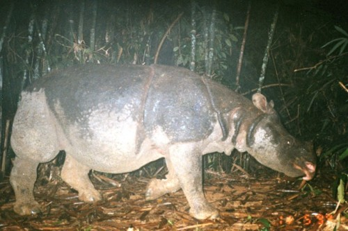 "rhamphotheca:  It's Official: Vietnam's Javan Rhino Is Extinct. Which Species Is Next? Poachers and lack of territory have killed off these amazing rhinos in Vietnam. Can we save the 35 left in Indonesia? by Rachel Nuwer On April 29, 2010, the Gia Vien ranger station received a disturbing call. Local people foraging in Vietnam's Cat Tien National Park had stumbled upon the weathered body of a large beast. To investigate, the rangers headed into the forest, where they found the skeleton lying on a pile of crumpled bamboo at the bottom of a steep ravine. It's severed skull rested a few meters away, a jagged hollow carved out where a horn once stood. They had found the remains of Vietnam's last Javan rhino. ""The Javan rhino is only the tip of the iceberg,"" said Sarah Brook, a flagship species officer for Flora and Fauna International Cambodia, and lead author of a recently published Biological Conservation paper describing the rhino's fate. ""Many other species are declining rapidly in Vietnam and remain in only fragments of their former ranges with very small populations,"" she said… (read more: TakePart)                    (photo: Cat Tien National Park/WWF)"