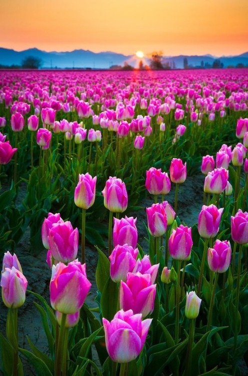 Tulip Field Sunset, Skagit Valley, Washington (holiday; via bluepueblo)