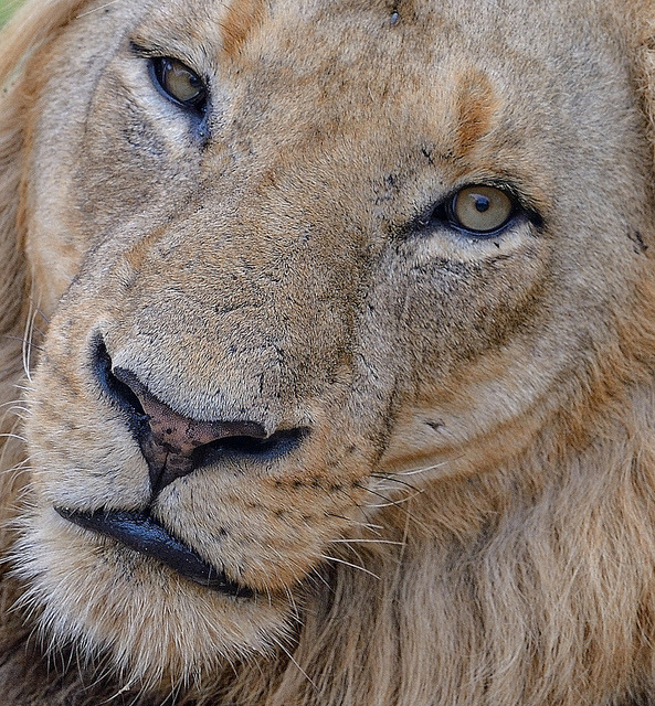 funnywildlife:  Lion up close by Rivertay07 on Flickr.Chitwa Chitws Reserve, Limpopo, Sabi, Kruger, South Africa