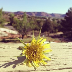 "Cedars flower with ""K"" Hill in the background. #kanab"