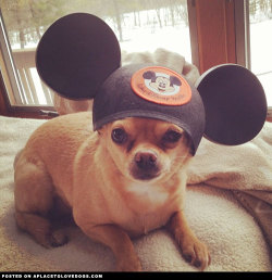 Everybody wants to go to Disneyland, even this cute little Chihuahua Cookie! Via @cooks_the_chihuahua For more cute dogs and puppies
