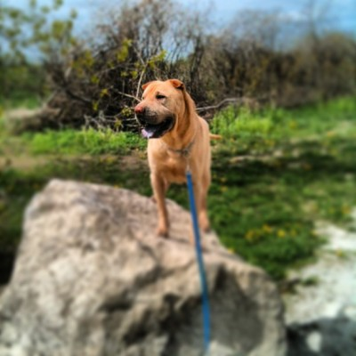 King of the rock #winstonthesharpei #365  (at Chrysler Canada Greenway Trail)