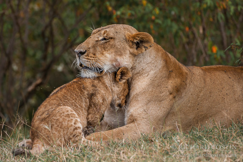 uncommonjones:  Lion cub with mother by Richard Costin