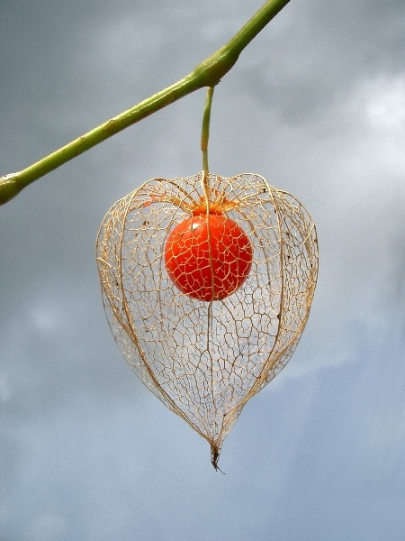 Physalis. Img here.
