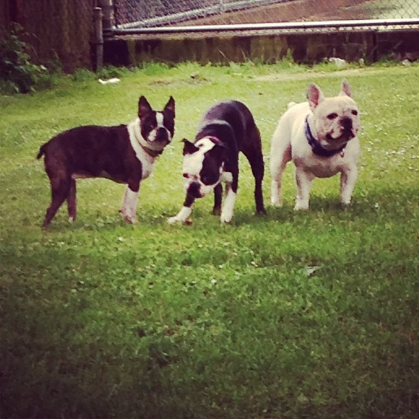 The crew in the park #squishyfacecrew #bostonterrier #frenchbulldog #frenchie #dogsofinstagram #dogstagram #petstagram #pet