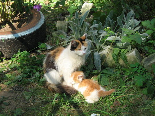 thecatsintophats:  Calico cat with her kitten, Russia.
