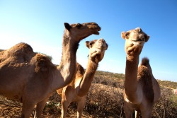 In drought-prone regions of Ethiopia, camels are key to survival. They require less water and their milk is rich in protein and nutrients. That's why Mercy Corps is bringing veterinary services to remote villages. When animals are healthy, families can thrive. See more photos of recovery in Ethiopia.