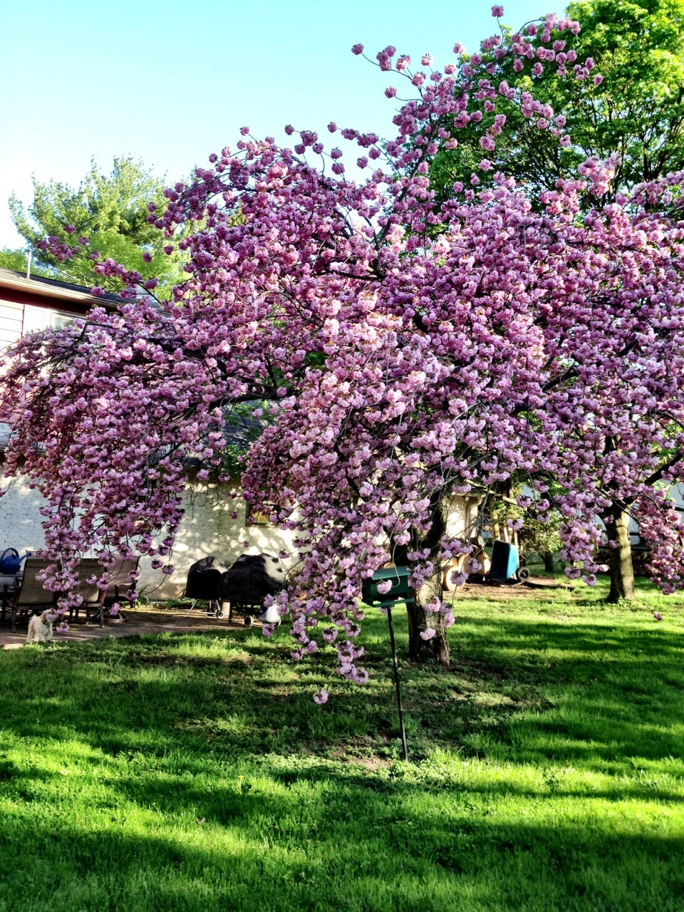 Our cherry tree is in full bloom.