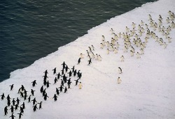 shit-thatblows:  massive penguin battle