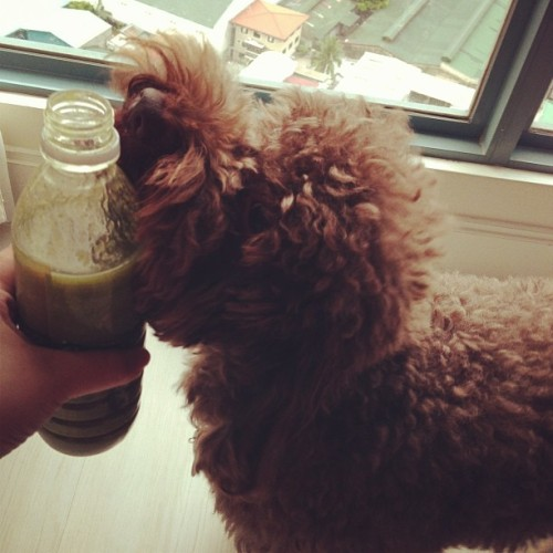 Was wondering why Tank was running after my Hella Green smoothie until I realized it had bananas in it. Monkey dog!!