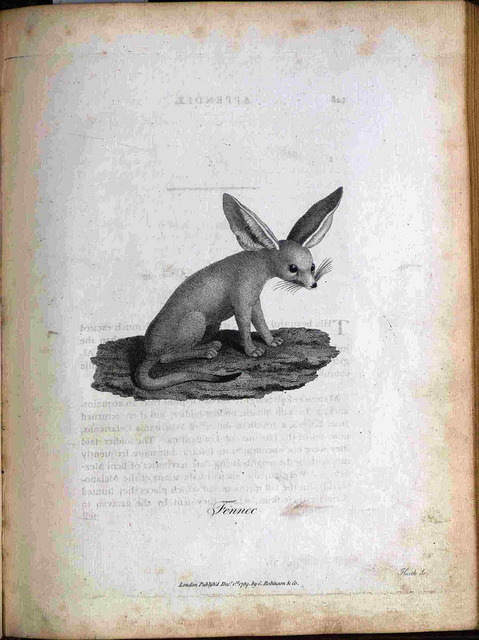 scientificillustration:  Fennec by Library & Archives @ Royal Ontario Museum on Flickr. Author: Bruce, James, 1730-1794. Title: Select Specimens of Natural History, Collected in Travels to Discover the Source of the Nile, in Egypt, Arabia, Abyssinia, and Nubia. Imprint: Edinburgh : Printed by J. Ruthven, for G. G. J. and J. Robinson …, 1790. Physical Description: 1 print : engraving ; plate mark 220 x 280 mm on leaf 23 x 30 cm. Page: Interleaved p. 128-129. Call Number: DT377 .B887 1790 V.5 Rare Book