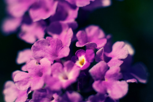 Purple Blossoms on Flickr.