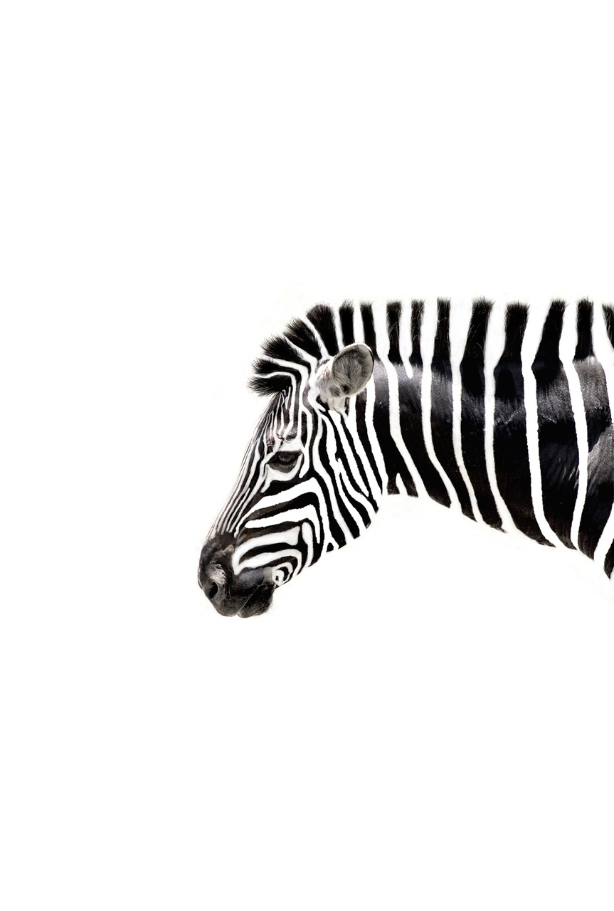 missroxirocket:  a-bow-of-rain:  lushclub:  a zebra popping up on my blog   zebras are my bff  i never noticed this til now.. but zebras are black with white stripes, not vice versa.