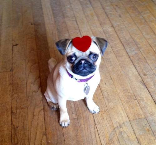 Eloise wishes everyone a Happy Valentine's Day, full of cuddles and dog treats! submitted by arstechnemoriendi