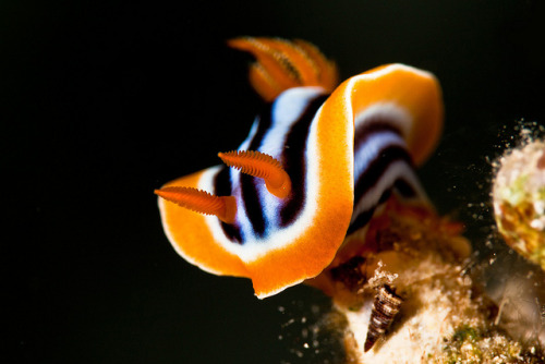thelovelyseas:  Nudibranch by Martin-Klein on Flickr.