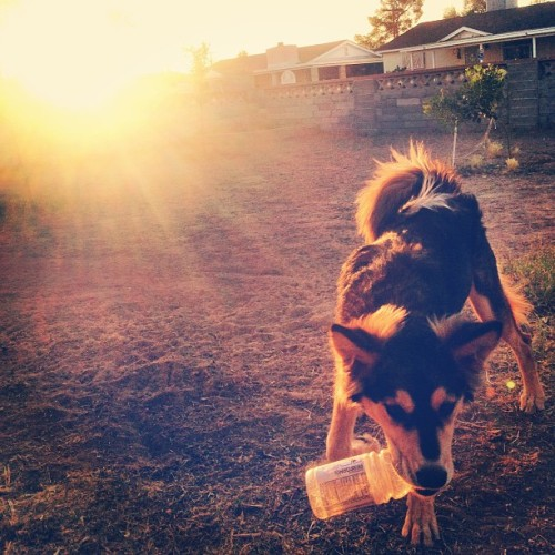 She stole my Gatorade bottle! 😎🐺 #Dog #Sunset
