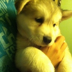 Finally found a #SiberianHusky for sale. He is a tan color and has greenish/gray eyes. Idk if I should buy him 😕