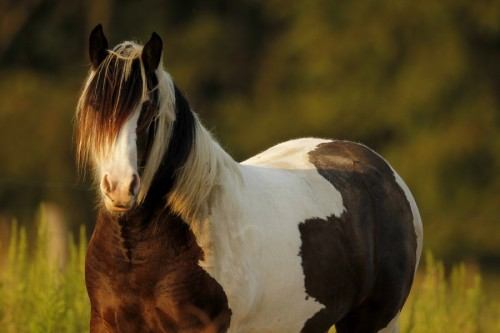 "(via 500px / Photo ""Gypsy Vanner"" by Steve Glass)"