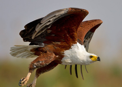 emuwren:  African Fish Eagle Haliaeetus vocifer) is a large species of eagle found throughout Sub-Saharan Africa.