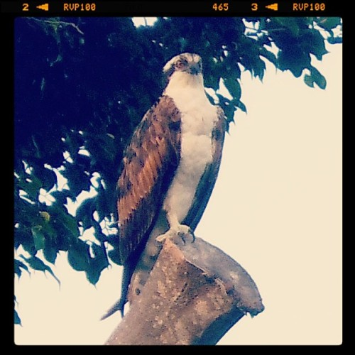 Osprey on Longboat Key #Florida #travel #Frifotos