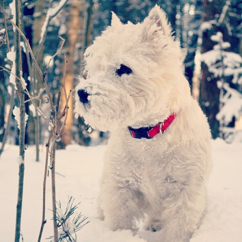 PHOTO OP: Westie in Winter Via mashastrapchaya.