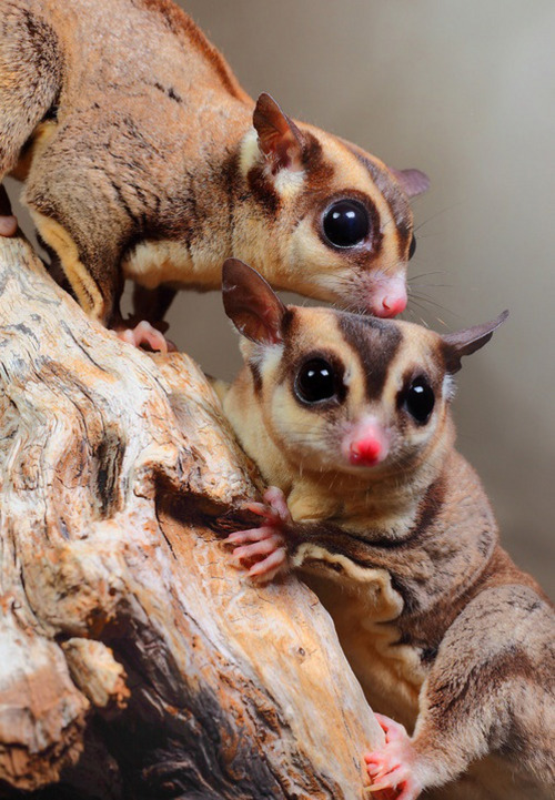 iainyork:                           sugar gliders of  australia.                                                  photograph by igor siwanowicz.