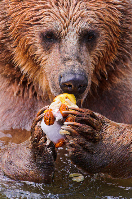 "Bear and ""ice cream"" by Tambako the Jaguar on Flickr."