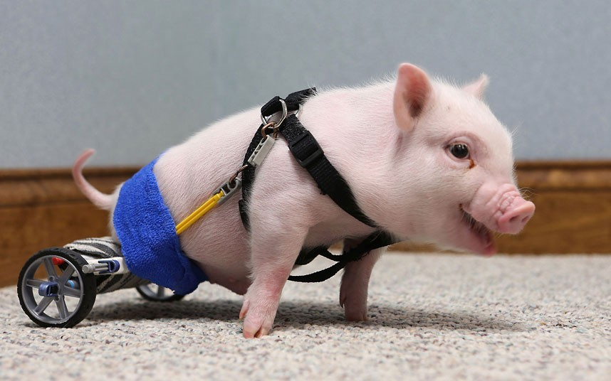 allcreatures:   Chris P Bacon, a piglet born without the use of his hind legs, is seen with his new wheelchair at the Eastside Veterinary Hospital in Clermont Florida. The pig's owner turned the piglet over to a Clermont vet who decided to help. Dr Len Lucero took the pig home and made a wheelchair for him using K'nex toy parts. Chris has outgrown the toy wheelchair, and will soon grow into his new, more permanent and rugged model.  Picture: ZUMA / Rex Features (via Pictures of the day: 14 February 2013 - Telegraph)