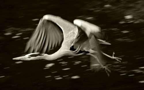 Sepia Conversion: Heron in Flight (by dfg photography)