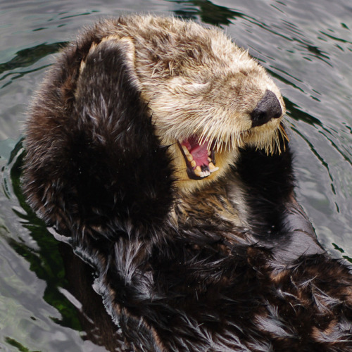 "Otter Files Noise Complaint Over Neighbor's Party An otter named Samuel contacted authorities on Tuesday in an attempt to shut down a raucous party next door. ""The music was blasting — I think it was Party Rock Anthem on repeat,"" says Henry Cobble, the police officer dispatched to the scene. ""Samuel wasn't the only one to complain. We had a few calls about it that night."" Police were quick to shut the party down, mostly because of the noise, but also because LMFAO is terrible. Via VFAGB."