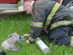 "POODLE GIVEN OXYGEN AND IV AFTER HOUSE FIRE - ""A paramedic administered oxygen therapy through a mask and monitored the dog…Two other medics assisted as the dog struggled to regain consciousness. The three medics started an IV line with fluids."" The Indianapolis Fire Department saved a six-year-old Poodle named Mandy from a house fire earlier today. After administering oxygen and IV fluids for approximately 20 minutes, they were able to revive her. The specially designed oxygen mask was donated by Invisible Fence. Hopefully Mandy recovers soon from her injuries. Click here for the full story from theindychannel.com."